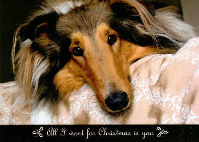 Collie Rescue of the Carolinas Christmas Card 2012