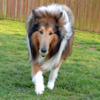 Miniature Collie For Adoption Goldenacresdogs Com