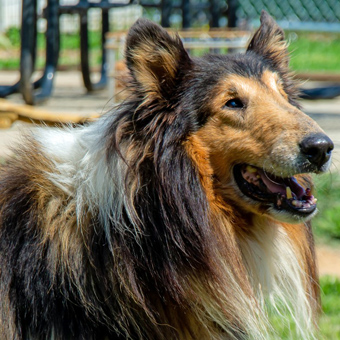 Adoptable Collies « Collie Rescue of the Carolinas