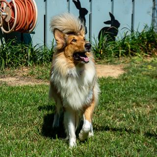 Adoptable Collies « Collie Rescue of the Carolinas